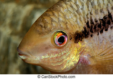 Portrait of cichlid fish