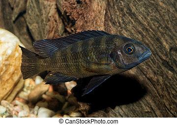 Portrait of cichlid fish (Pseudotropheus crabro)