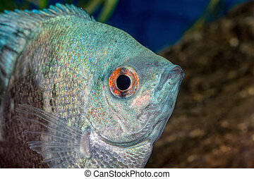 Portrait of cichlid fish (Pterophyllum scalare)