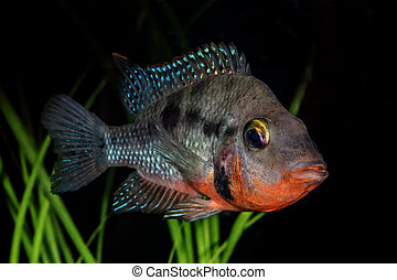 Portrait of cichlid fish (Thorichthys meeki) in aquarium