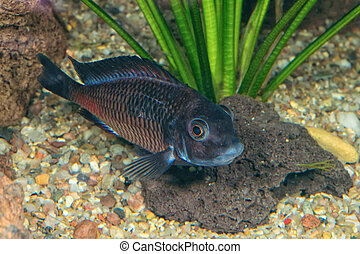 Portrait of cichlid fish (Tropheus sp.)