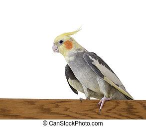 Portrait of Cockatiel sitting on a wooden bar; Focus on eye,