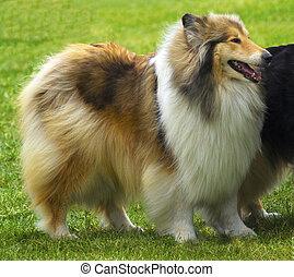 portrait of collie dog. sheepdog portrait