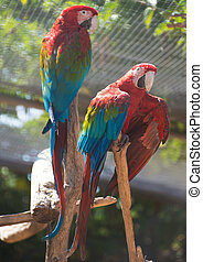 Portrait of colorful Ara parrots on the tree.