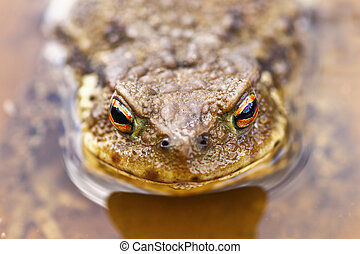 portrait of common brown toad in water