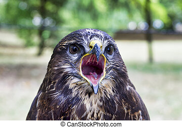 Portrait of common buzzard (Buteo buteo)