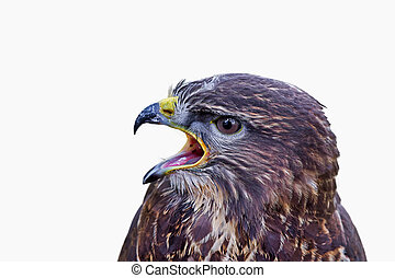 Portrait of common buzzard (Buteo buteo) on a white background