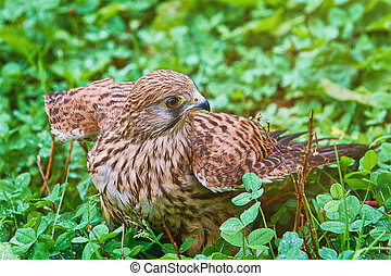 Portrait of Common Kestrel (Falco Tinnunculus) in the Grass