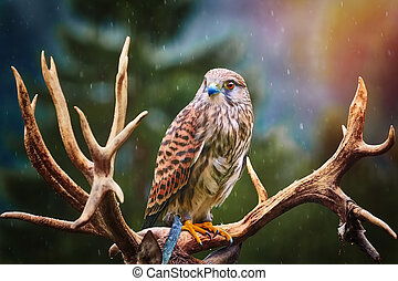Portrait of Common Kestrel (Falco Tinnunculus) Perching on the Horns of Deer