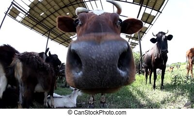 Portrait of cow, extreme close up? stock footage