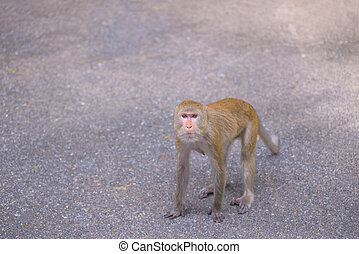 Portrait of crab-eating macaque in national park, Thai monkey