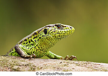 curious sand lizard on a wooden stump - portrait of curious...