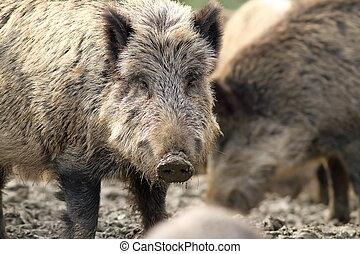 portrait of curious wild hog