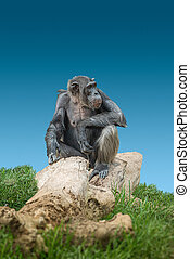 Portrait of curious wondered adult male Chimpanzee sitting at big tree trunk with blue sky background