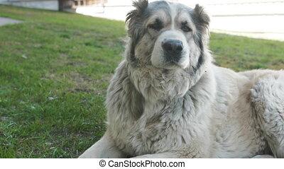 Portrait of Cute Alabai Dog. Blurred Background. Alabai ...
