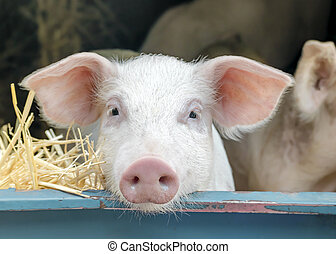 Portrait of cute curious white pink meat breed pig on sale at the local village market looking at the camera.