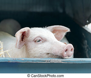Portrait of cute curious white pink meat breed pig on sale at the local village market.