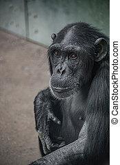 Portrait of cute curious wondered adult Chimpanzee