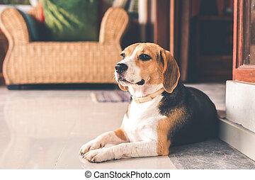 Portrait of cute female beagle dog.