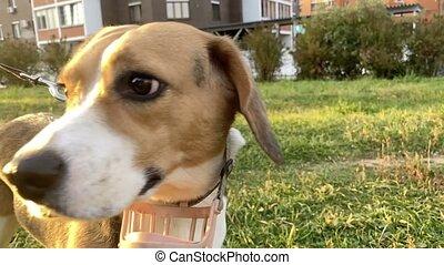 Portrait of cute female beagle dog outdoor. Beautiful sun. ...
