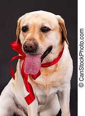 Portrait of cute labrador with red ribbon.