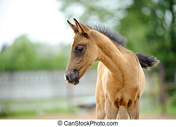 portrait of cute little akhal-teke foal a few weeks years old in