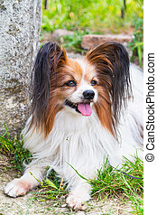 Papillon dog lying in the green grass