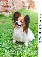 Papillon dog sitting in the green grass