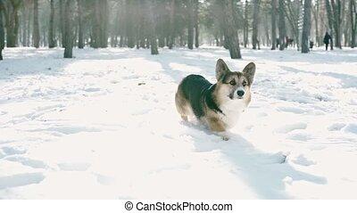 Portrait of cute pedigree welsh corgi pembroke dog walking ...