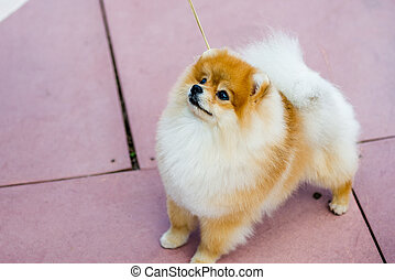 Portrait of cute pomeranian spitz dog