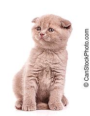 Portrait of cute scottish fold kitten