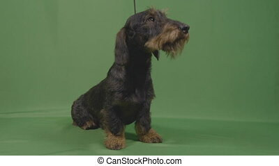 Portrait of cute wirehaired teckel little dog in leash with...