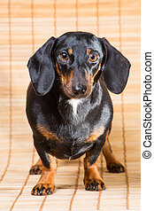 portrait of dachshund