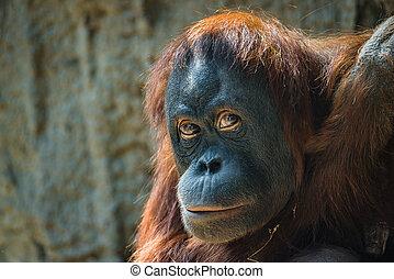 Portrait of depressed Asian orangutan