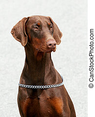 Portrait of Dobermann -- Brown with rust red markings