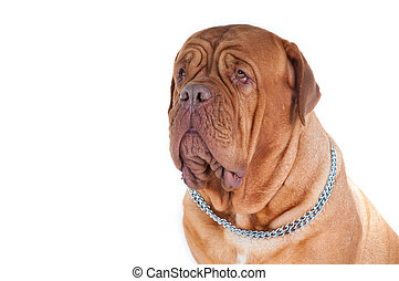 Portrait of dog de bordeaux