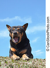 portrait of dog looking and relaxing on grass field with blue sky background