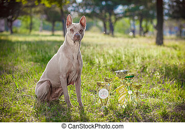Portrait of dog thai ridgeback