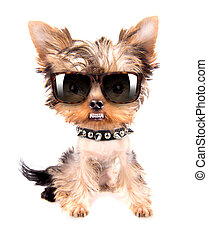 Portrait of dog with spiked collar and shades - Portrait of...