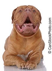 Portrait of Dogue de Bordeaux