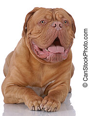 Portrait of Dogue de Bordeaux