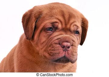 Portrait of Dogue De Bordeaux puppy
