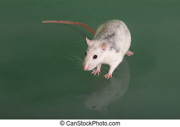 rat on green glass