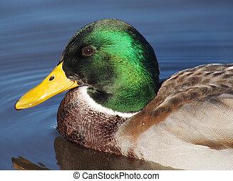 Portrait of duck