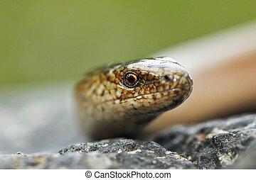 portrait of eastern slow worm