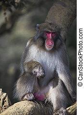 Portrait of Eating Japanese Macaque On Tree at Arashiyama Monkey Park Iwatayama in Kyoto, Japan.