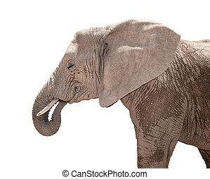 Portrait of elephant isolated on white