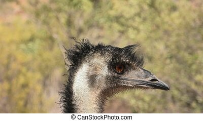 Portrait of Emu, Dromaius novaehollandiae, endemic to Australia where it is the largest native bird. The emu is an important cultural icon of Australia, appearing on the coat of arms and various coins