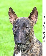 Portrait of English Bull Terrier