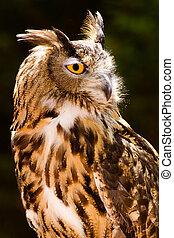 Portrait of Eurasian eagle owl